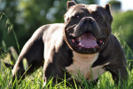 Chien Bloody-Meth\' Shabazz American Bully - Bouledogue américain  (0 mois)