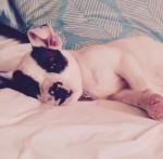 Chien Koda - Bouledogue américain Femelle (3 mois)