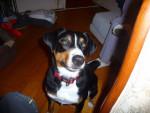 Chien Caline (chienne d\'une Amie) - Bouvier de l\'Appenzell Femelle (2 ans)