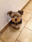 Chien looky - Yorkshire  (0 mois)