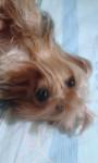 Chien Mamucha - Yorkshire Femelle (4 ans)