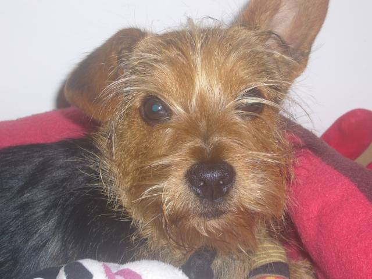ice tea mon chien - Yorkshire Mâle (10 mois)