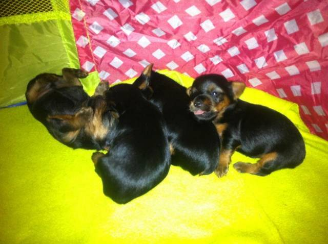 New Puppies - Yorkshire