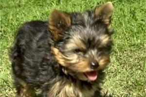 Yorkshire Terrier - Yorkshire