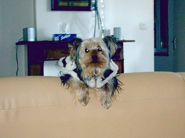 Yorkshire terrier - VOYOU - Yorkshire
