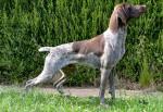Indie - Braque allemand à poil court Mâle (1 an)