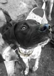 Ziggy - Braque allemand à poil court Mâle (1 an)