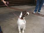 Starlite - Braque de l'Ariège (3 ans)
