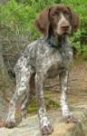 Lilly - Braque de l'Ariège (11 mois)