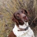 Hollybear - Braque de l'Ariège Mâle (3 ans)