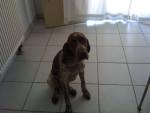 Effy - Braque français type Gascogne (2 ans)