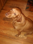 lilly - Braque hongrois à poil court (6 ans)