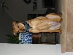 Abbey - Braque hongrois à poil court (10 ans)