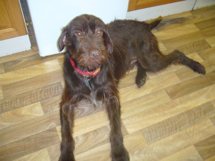 Diesel chien braque hongrois poil court - Braque hongrois a poil court ...