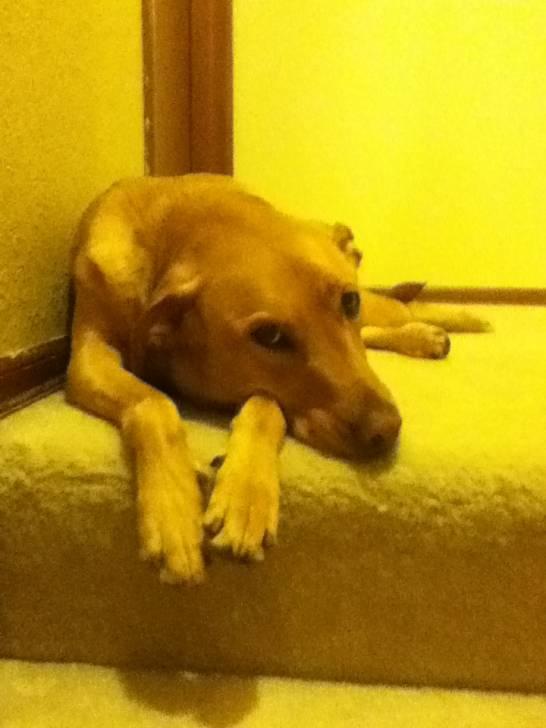 Daisy - Braque hongrois à poil court (3 ans)