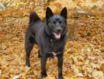 Percy - Buhund norvégien Mâle (4 ans)