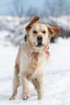 Chien Belle photo de Glody Duke  15 mois à la neige - Golden Retriever  (1 ans et 3 mois)