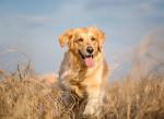 Un Golden Retriever dans un champ d'herbes jaunes