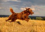 Un Golden Retriever marron court dans un champ