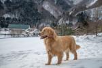 Un Golden Retriever debout dans la neige dans un village de montagne