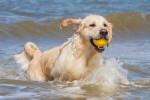 Un Golden Retriever rapporte une balle qu'il a récupérée dans la mer