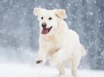 Un Golden Retriever blanc court dans la neige