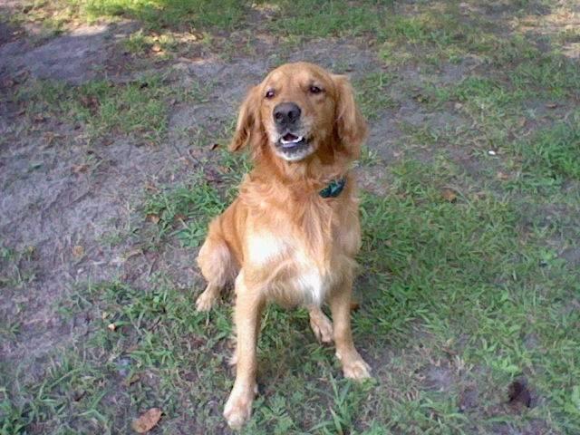 Kasey - Golden Retriever Mâle (6 ans)