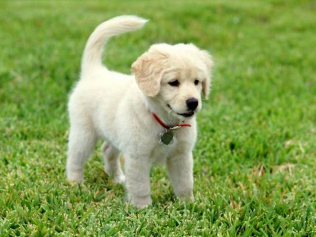 que mono - Golden Retriever