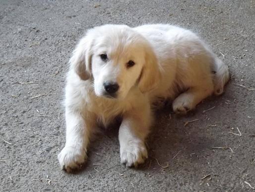 Mimi - Golden Retriever (9 mois)