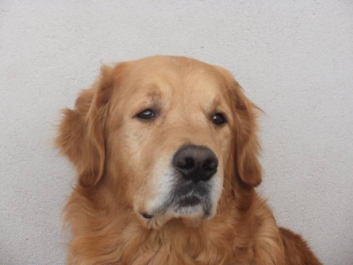 Ulis - Golden Retriever Mâle (9 ans)