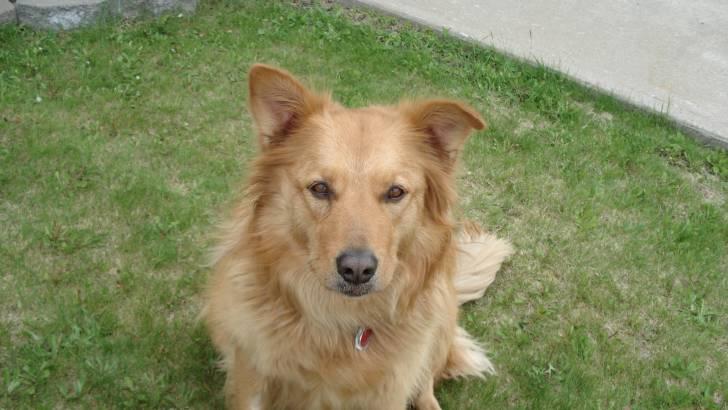 Sibelle - Golden Retriever (2 ans)