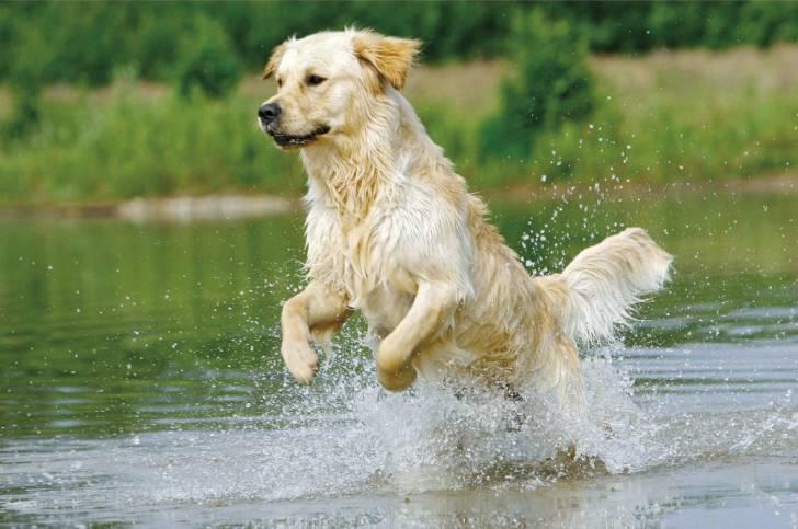 Taffy dans l'eau - Golden Retriever Mâle (9 ans)