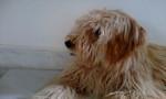 Snoopy - Chien courant de Bosnie à poil raide Mâle (8 mois)