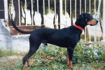 Chien Courant Grec - Chien courant grec