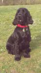 Iros - Cocker Mâle (4 ans et 8 mois)