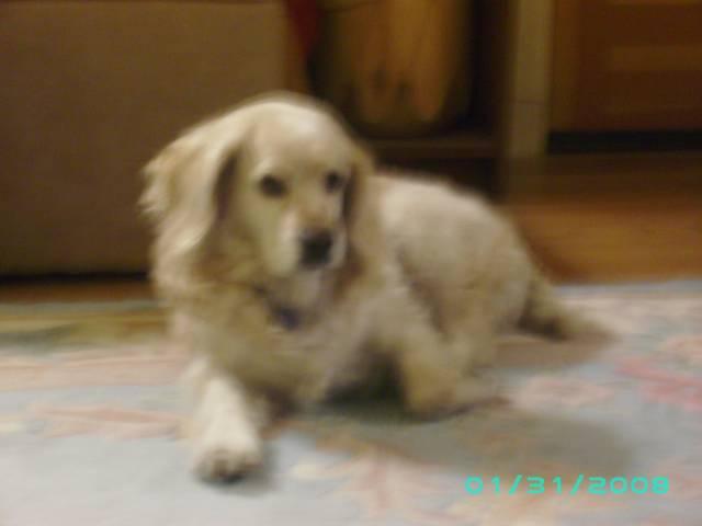 Daisy - Cocker (8 ans)