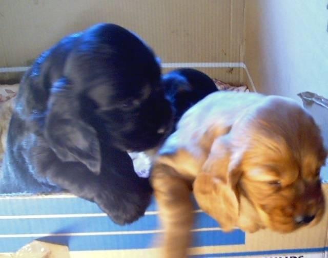 Uzco (noir) et son frère Urzo - Cocker Mâle (1 mois)