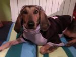 Stella - Chien courant italien à poil court (3 ans)