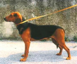 Chien Courant Serbe - Chien courant serbe