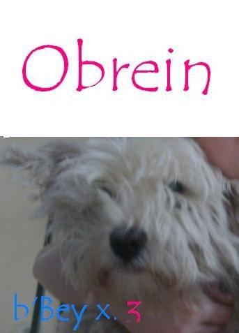 Obrein - Westie Mâle (11 ans)