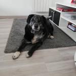 Cookie - Chien d'Ours de Carélie Mâle (7 ans)