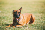 Photo Berger Belge Malinois