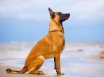 Un Berger Belge Malinois assis sur le sable à la plage