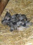 chiots kangal ( berger d'anatolie ) - Berger d'Anatolie