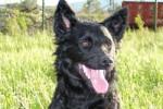 Milu - Berger de Croatie (2 ans)