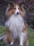 APRIL - Berger des Shetland Mâle (4 ans)