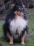 URBAN - Berger des Shetland Mâle (6 ans)