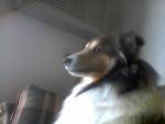 Skippy - Berger des Shetland Mâle (7 ans)