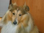Chien Boléro Gold, berger shetland - Berger des Shetland  (Vient de naître)