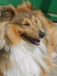 Chien Boléro Gold, shetland beau portrait - Berger des Shetland  (Vient de naître)